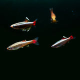 Swimming colorful fishes. White Cloud Mountain minnow fish on black background. macro view, shallow depth of field. copy Royalty Free Stock Photography