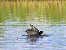 Swimming coot Royalty Free Stock Photos