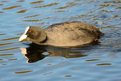 Swimming coot Stock Images
