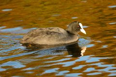 Swimming coot. Portrait of a coot swimming Stock Images