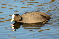 Swimming coot Royalty Free Stock Photography
