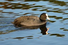 Swimming coot. Portrait of a coot swimming Royalty Free Stock Photos