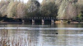 Swimming coots, Bisonbaai, Ooijpolder, Holland stock footage