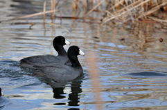 Swimming Coots on glassy pond. Stock Image