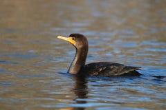 Swimming Cormorant stock photos