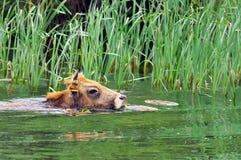 Farm. Cow crossing the water in Danube Delta - landmark attraction in Romania Stock Photo