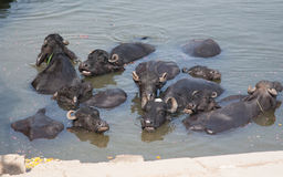 Swimming cows in Ganga. Holy river in Varanasi, Uttar Pradesh, India Royalty Free Stock Photography
