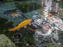 Swimming Coy in Pond. Several coy  in pond.  Different shades of orange in color royalty free stock images