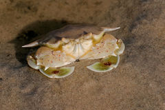Swimming crab Royalty Free Stock Images