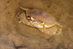 Swimming crab Stock Images