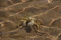 Swimming crab Royalty Free Stock Photo