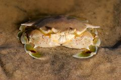 Swimming crab Royalty Free Stock Image