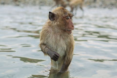 Swimming crab-eating macaques. Royalty Free Stock Photography