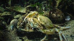 Swimming Crab Macropipus Holsatus, Male And Female Before Mating Royalty Free Stock Photos