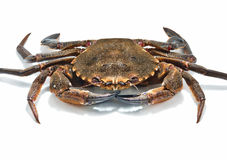 Swimming crabs Royalty Free Stock Images
