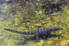 Swimming Cuban crocodile / Crocodylus Rhombifer / stock photos
