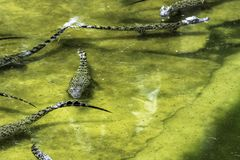 Swimming Cuban crocodile Crocodylus Rhombifer is a small species of crocodile endemic to Cuba - Peninsula de Zapata National Par. K / Zapata Swamp, Cuba stock photos