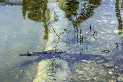 Swimming Cuban crocodile Crocodylus Rhombifer is a small species of crocodile endemic to Cuba - Peninsula de Zapata National Par. K / Zapata Swamp, Cuba stock image