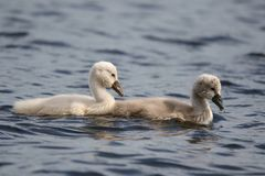 Swimming Cygnets. A pair of fluffy mute swan Cygnus olor cygnets against a blue background royalty free stock photography