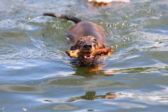 Dog. Swimming in the water retreiving a stick Royalty Free Stock Photography