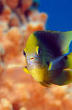 Swimming damselfish. Macro view of damselfish swimming underwater with colorful coral reef in background Stock Photography