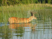 Swimming Deer. Deer about to swim across a lake in the Canadian wilderness Royalty Free Stock Image
