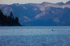 Swimming Deer in Lake Tahoe, Nevada Royalty Free Stock Photos