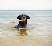 Swimming dog. Intelligent dog with a stick in his mouth Royalty Free Stock Photos