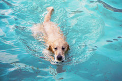 Swimming dog. A Labrador Retriever swimming in a pool Stock Photos