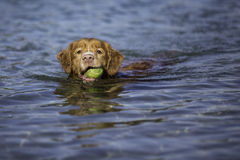 Swimming dog Royalty Free Stock Image