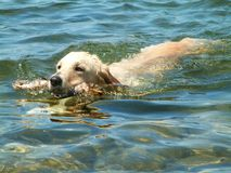 SWIMMING DOG. A labrador fetches a stick from the water royalty free stock photography
