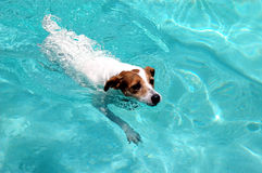Swimming dog. Jack Russell dog swimming across pool royalty free stock photos
