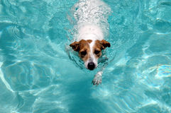 Swimming dog. Jack Russell swimming in pool royalty free stock photography