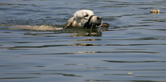 Swimming dog with ball Stock Photography