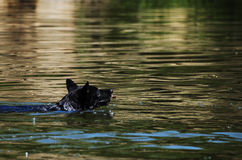 Swimming dog Stock Photo