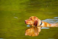 Swimming dog Stock Photography