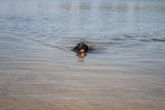 Swimming Dog. Dog in lake - swimming with ball in mouth Royalty Free Stock Image