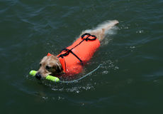 Swimming dog with life jacket. Dog swimming with a life jacket and fetching a toy stock photos