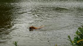 Swimming dog retrieving wooden branch. Young Golden retriever dog swimming stock footage