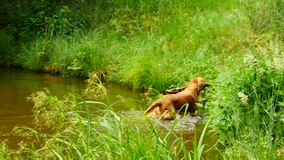 Swimming dog retrieving wooden branch. Young Golden retriever dog swimming stock video