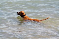 Swimming dog Stock Photography