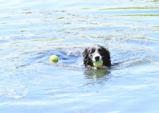 Swimming dog. Dog with tenis ball in mouth swimming in blue water Royalty Free Stock Images