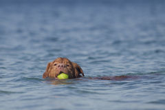Swimming dog with yellow tennis ball Royalty Free Stock Photography