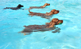 Swimming dogs Stock Photos