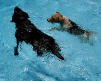 Swimming dogs. A black labrador and a fox terrier puppy swimming together in a clean, blue pool on a hot day Stock Photography