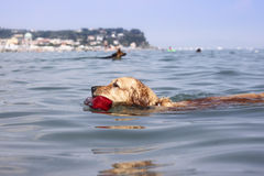 Swimming dogs Royalty Free Stock Image