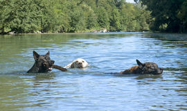 Swimming dogs. Three happy swimming dogs in a river Stock Photos