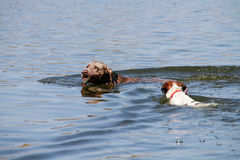 Swimming dogs Royalty Free Stock Photos