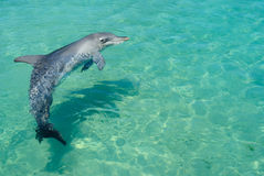 Swimming dolphin royalty free stock photos