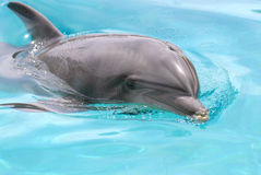 Swimming dolphin. Closeup dolphin swimming in blue water Stock Images